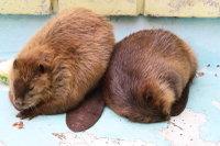 Beaver25