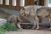 Wolfbaby02