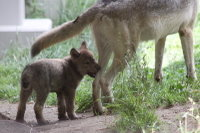 Wolfbaby03