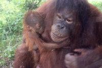 Orangutan_m01