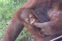 Orangutan_m02