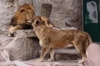 Lions_m10