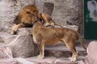 Lions_m11