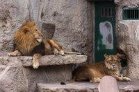 Lions_m13