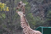 Giraffe_h06