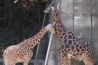 Giraffe_h07