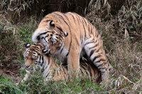 Tigers_t03