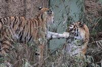Tigers_t04