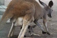 Kangaroo16