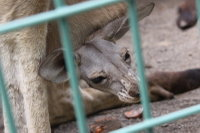 Kangaroo17