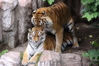 Tigers_m01