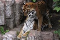 Tigers_m02