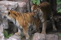 Tigers_m03
