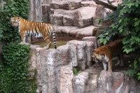 Tigers_m04