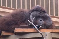 Orangutan_m03