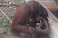 Orangutan_m04