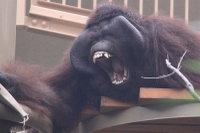 Orangutan_m05