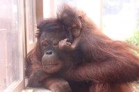 Orangutan_m06