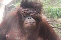 Orangutan_m07