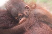 Orangutan_m08