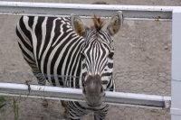 Zebra50