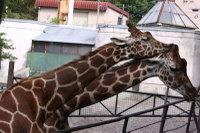Giraffes42