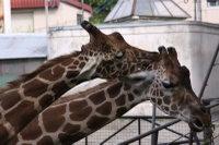 Giraffes43