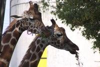 Giraffes44