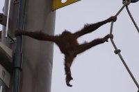Orangutan32