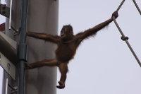 Orangutan33