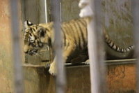 Tiger_baby01