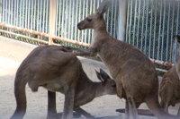 Kangaroo_h