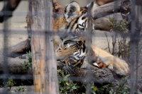 Tigerbaby_k01