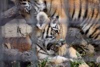 Tigerbaby_k03