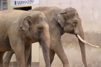 Asian_elephant09