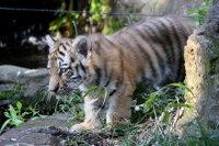 Tiger_baby03