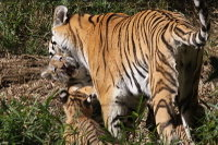 Tiger_baby05