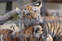 Tigerbaby_k04