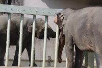 Asian_elephant10
