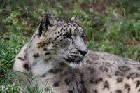 Snowleopard_t06