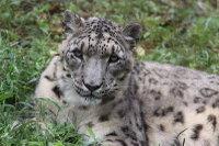 Snowleopard_t07
