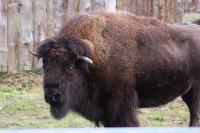 Bison06