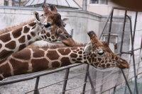 Giraffes48