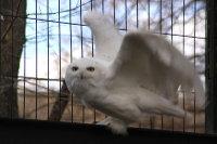 Snowy_owl11