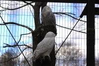 Snowy_owl13