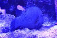 Napolonfish02