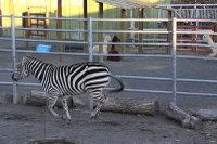 Zebra54