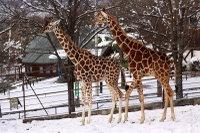 Giraffes49