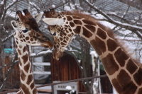 Giraffes50