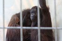 Orangutan34
